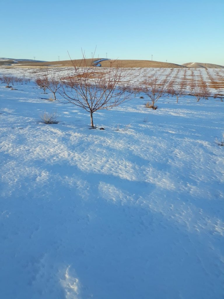 Snow-at-Young-apricot-Orchard.jpg